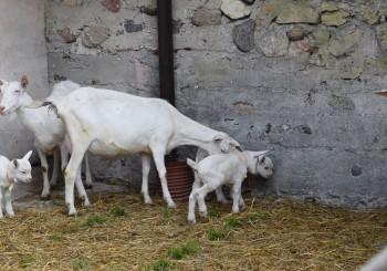 Mācību ekskursija uz kazu fermu